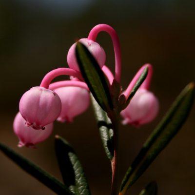 Lyngen blomstrer